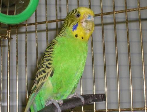 Клещи у попугаев - диагностика и лечение