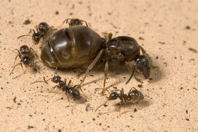 Как выглядит матка домашнего муравья