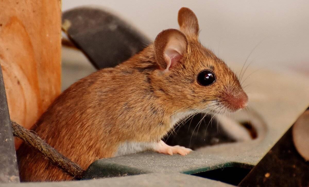 В машине завелась мышь что делать