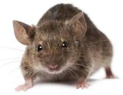 Откуда берутся крысы под капотом автомобиля, как от них избавиться?