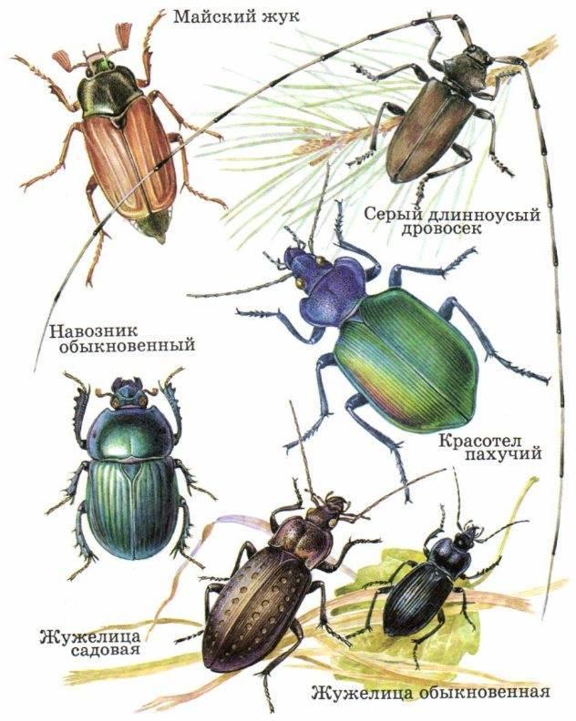 Хрущ, или майский жук — как бороться с вредителем?