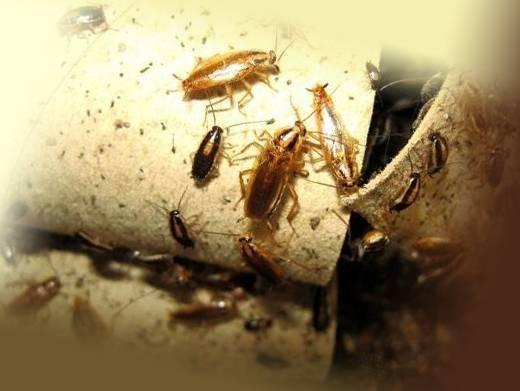 Лямбда зонда от тараканов – отзывы и инструкция по применению