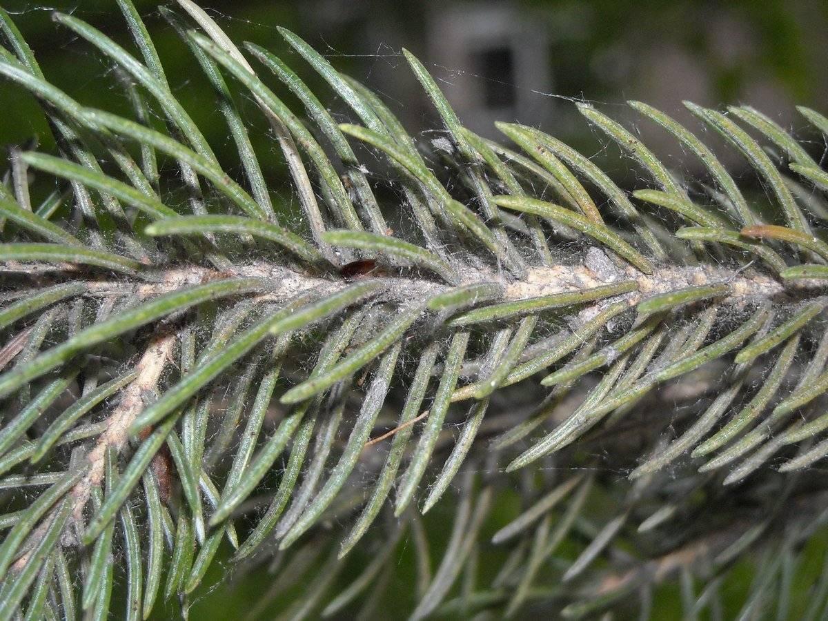 Вредитель сосновый пилильщик: описание, как бороться