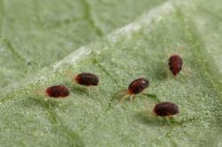 Осторожно чёрный (коричневый) клещ. как распознать паразита. где обитает и чьей кровью питается