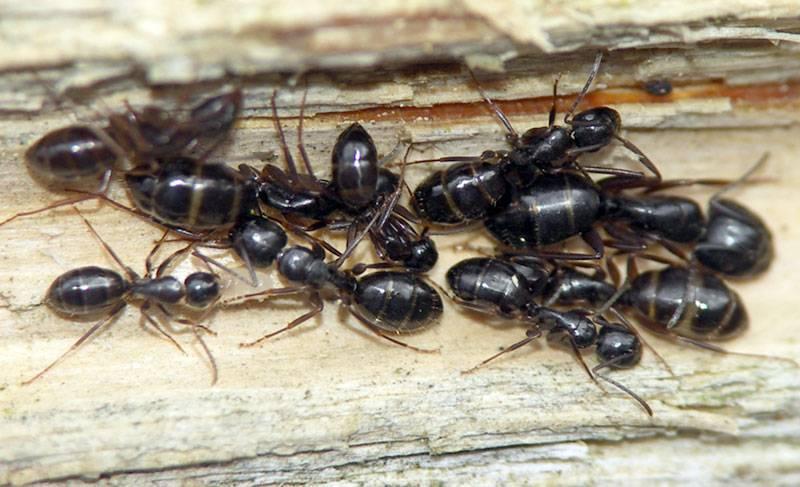 Как живут муравьи амазонки