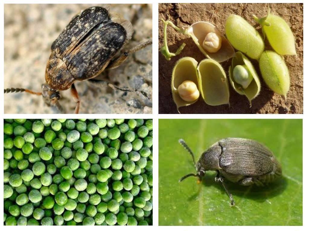 Чем опасен для гороха брухус и как спасти урожай?