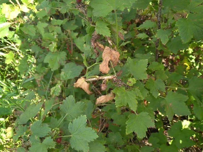 Галловая тля на кустах смородины – как не упустить момент