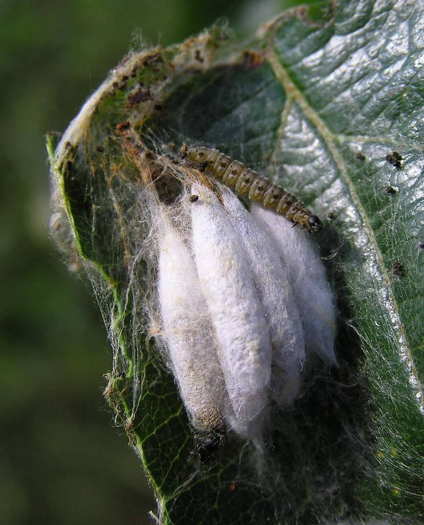 Какие бабочки угрожают вашему урожаю – фото и описания бабочек-вредителей