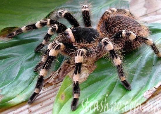 Самые страшные пауки земного шара