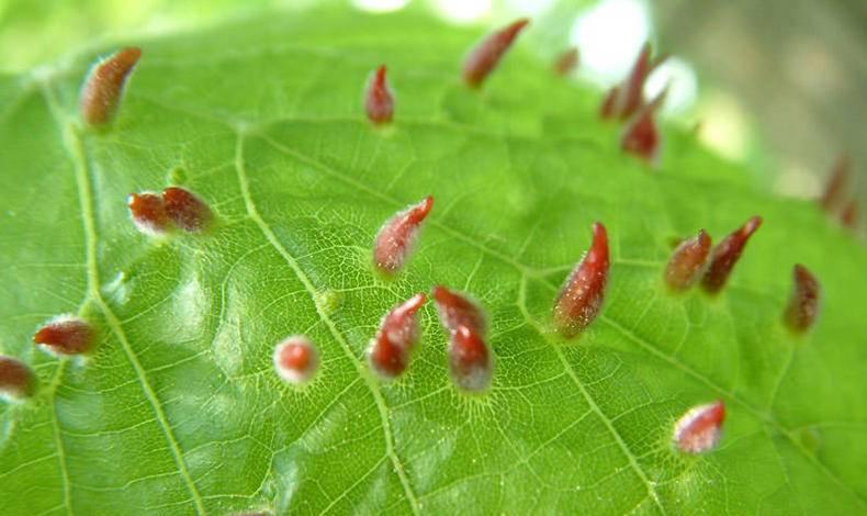 Методы эффективной борьбы с паутинным клещом на розе