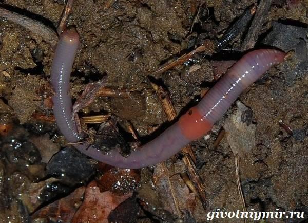 Дождевой червь: образ жизни, среда обитания и польза для почвы. дождевой червь: описание, роль в природе, разведение схема внешнего строения дождевого червя