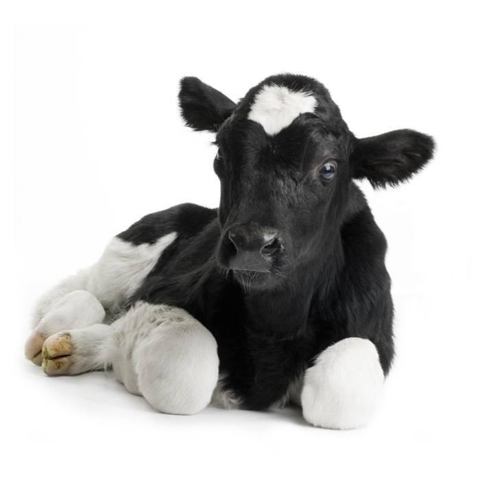 Способы лечения вшей у коров