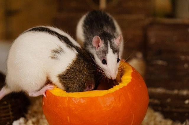 Самые эффективные способы избавления от земляной крысы