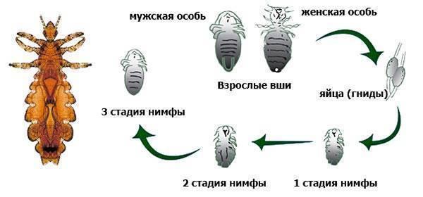 Скорость размножения и развития головной вши