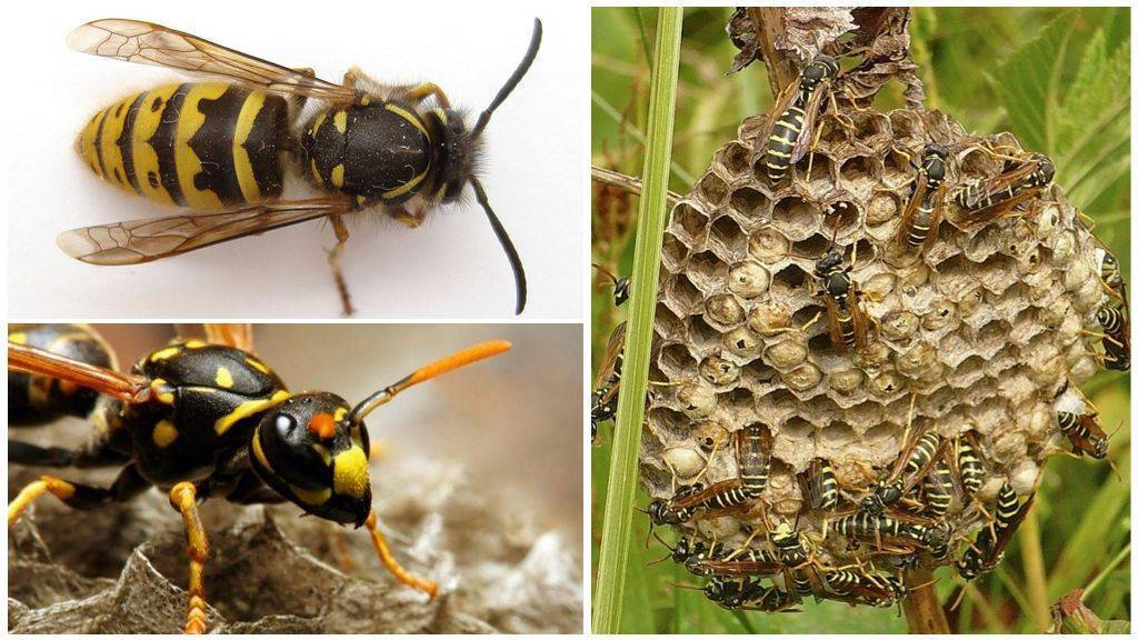 Земляные осы: ценные помощники или опасные соседи?