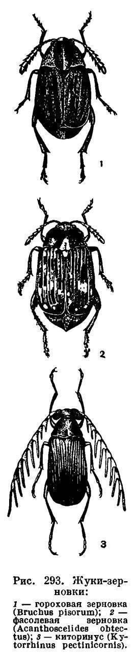 Песчаный медляк— многоядный жук, уничтожающий всходы