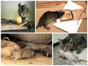 Как избавиться от крыс в сарае различными способами?