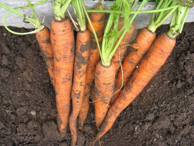 Как избавиться от морковной мухи