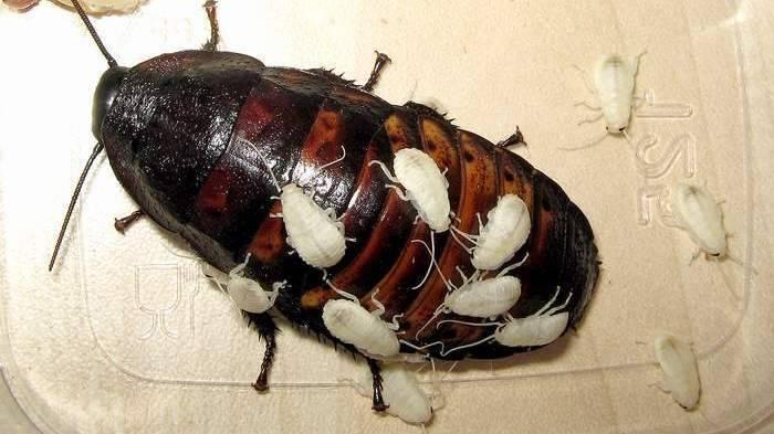 Процесс размножения тараканов