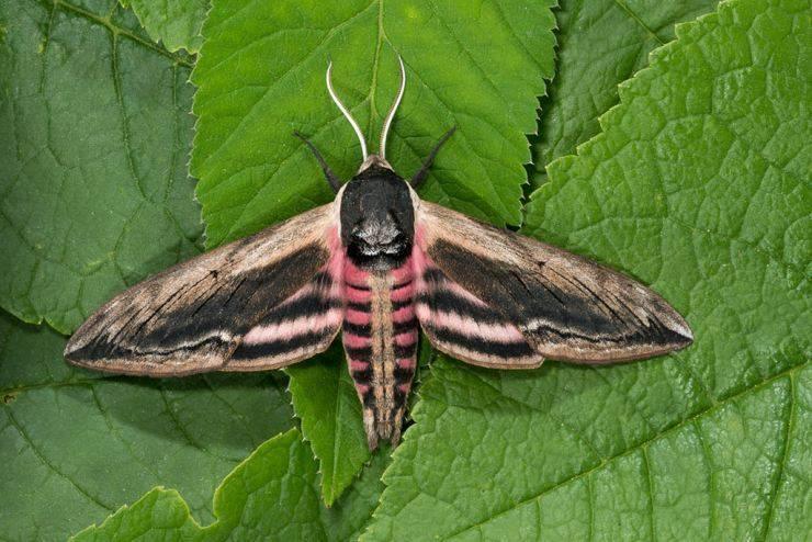 Как выглядит огромная бабочка. бражник тополевый – ночная бабочка, которая не ест