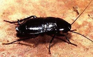 Как избавиться от больших чёрных тараканов в квартире