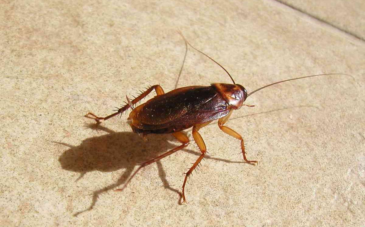 Как происходит процесс размножения у тараканов разных видов