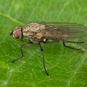 Как бороться с луковой мухой?