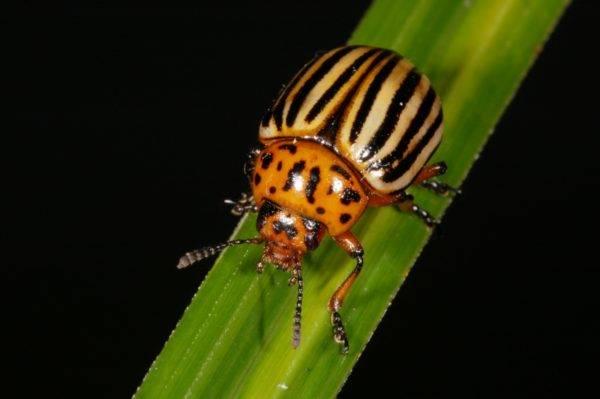 Малинный жук, описание, фото, чем опасен, как и чем бороться
