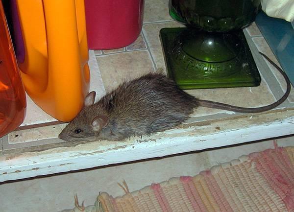 Чего боятся мыши? народные средства для борьбы с мышами