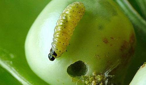 Вредители и болезни гороха и других бобовых культур