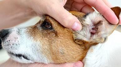 Первые признаки и симптомы укуса клеща у собаки и что нужно делать, чтобы помочь питомцу?