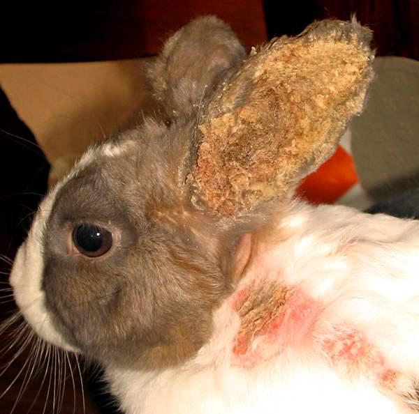 Ушной клещ у кроликов симптомы и лечение в домашних условиях