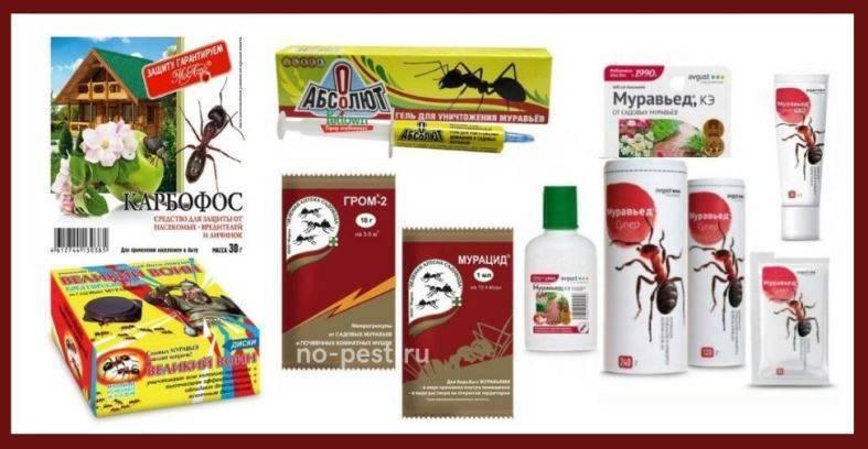Как спасти и защитить смородину от тли и муравьев