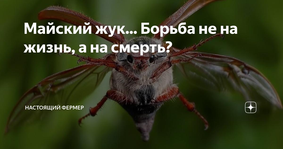 Майский жук - описание, метаморфоза, органы, строение с фото и видео