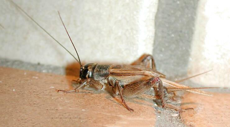 Как выглядит сверчок — фото и описание видов насекомого. сверчок насекомое, домовые сверчки (лат. acheta domesticus) название семейства сверчка
