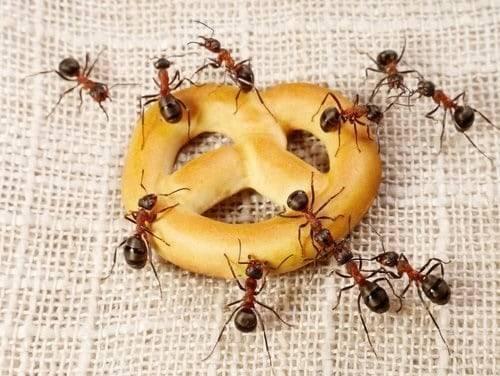 Что едят лесные и домашние муравьи