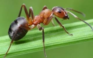 Что делать при укусе муравья?