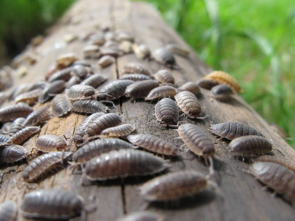 Описание и характеристика 6 видов мокриц: среда обитания, а также польза и вред от ракообразных