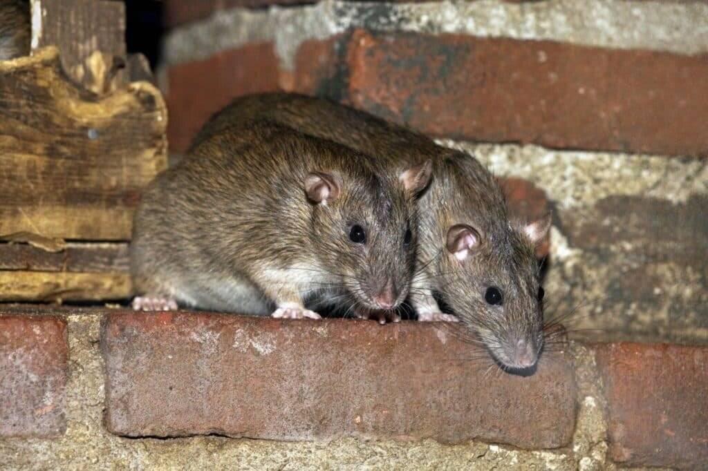 Грызут ли мыши минеральную вату, стекловату