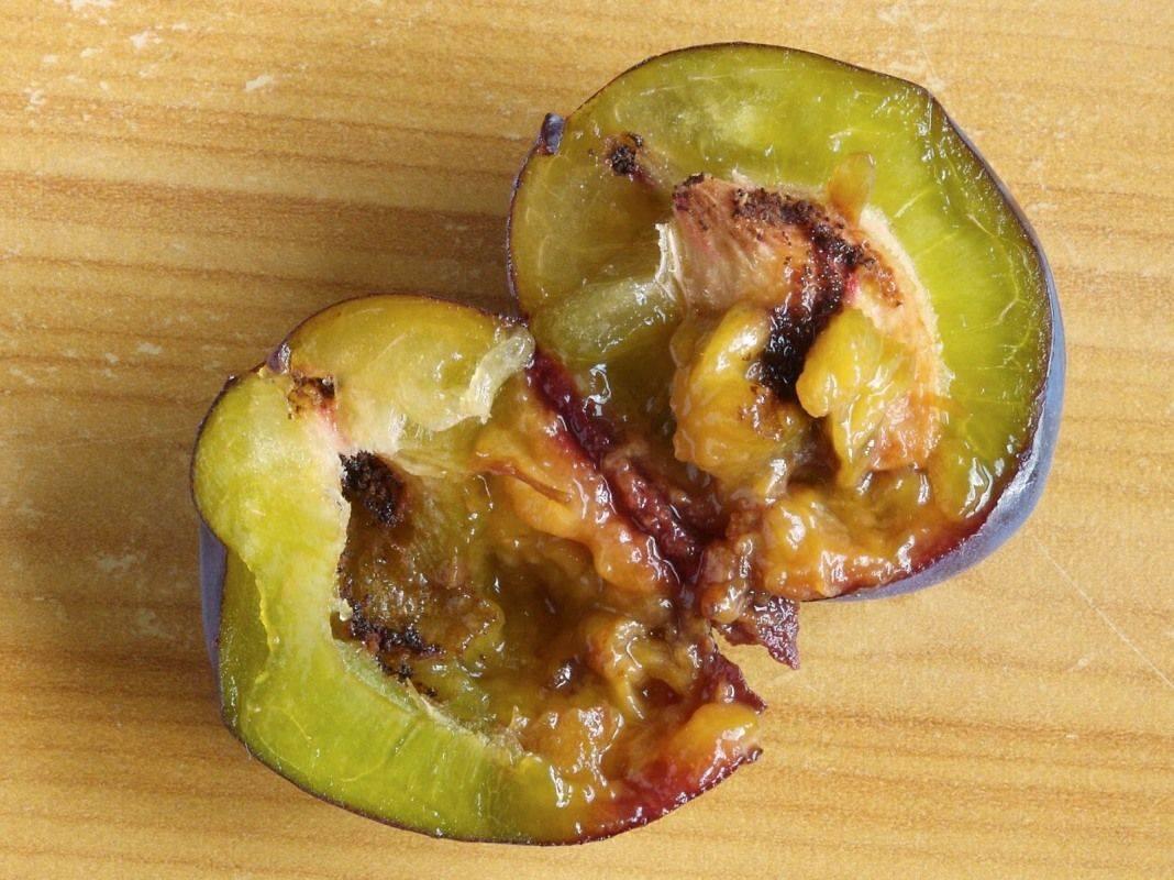 Яблонная плодожорка: как защитить сад от опасного вредителя?