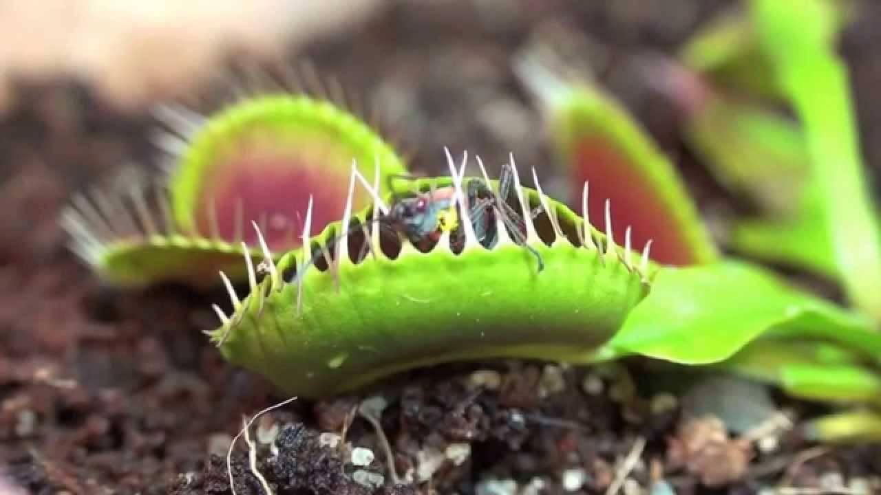 Венерина мухоловка, дионея – растение, которое ест мух