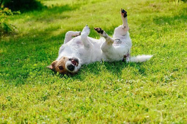 3 способа удаления клеща у собаки в домашних условиях: обзор +видео