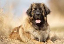 8 безопасных способы вытащить клеща у собаки