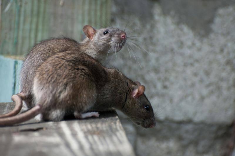 Крысы в погребе: что делать
