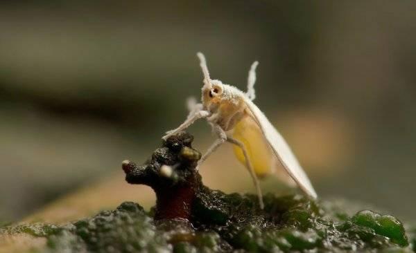 Как бороться с белокрылкой в теплице: обзор всех известных способов избавления от паразита