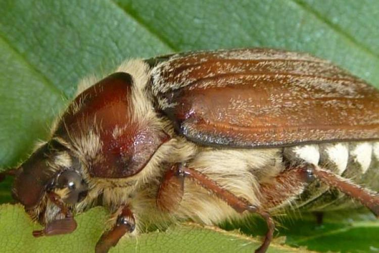 Вредители малины и ежевики – эффективные методы борьбы и профилактика