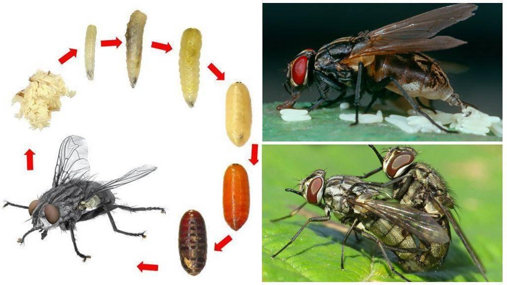 Осенняя жигалка: образ жизни и вредоносность кровососущего насекомого