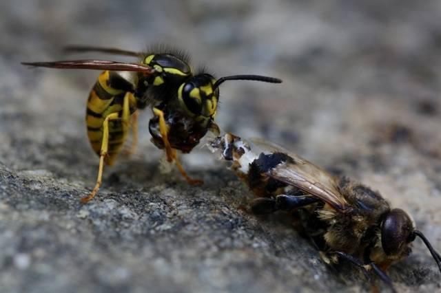 Чем отличается оса от пчелы: фото