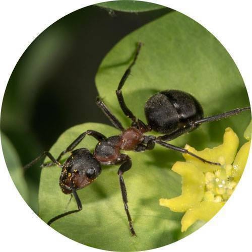 Народные и химические средства для защиты плодовых деревьев от муравьев
