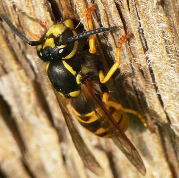 Осиное гнездо. как устроено гнездо осы, и каким образом оно используется в медицине